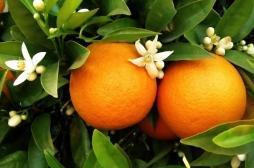 Le coup de fouet  « vitamine C » pour supporter l'hiver : pas forcément efficace mais pas mauvais