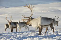 Réchauffement climatique : les rennes du père Noël à la diète
