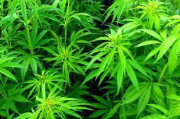 Cannabis : Terra Nova présente son modèle pour légaliser