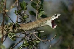 Morsures de serpent : l'OMS veut améliorer la prise en charge