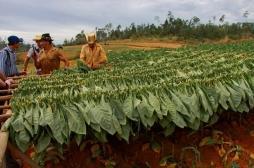 Environnement : l'OMS alerte sur les ravages de la culture du tabac