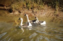 Grippe aviaire : le ministère de l'Agriculture renforce la sécurité