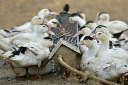Grippe aviaire : l'épizootie s'étend en Europe
