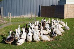 Grippe aviaire : le ministère débloque 130 millions d'euros pour les éleveurs