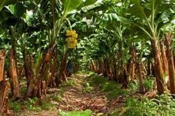 Chlordécone aux Antilles : comment s'est-on débarrassé des stocks après l'interdiction du pesticide ?