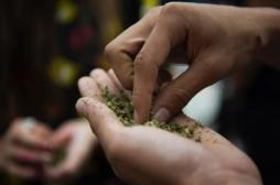 Le cannabis de synthèse pourrait augmenter le risque d'AVC : des médecins américains donnent l'alerte