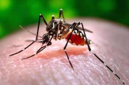 Zika : un moustique OGM bientôt relâché en Floride