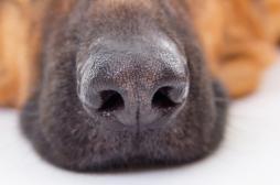 Cancer du sein : des résultats positifs avec les chiens renifleurs