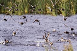 Grippe aviaire : 600 000 canards abattus à titre préventif