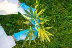La marijuana serait mauvaise pour le cœur