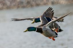 Grippe aviaire : 57 foyers recensés en France