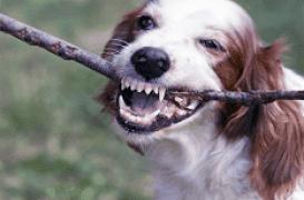 Morsure de chien : l'enfant est décédé
