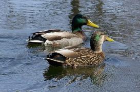 Grippe aviaire : risque élevé pour toute la France