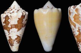 Douleur : un escargot de mer à la place des opiacés