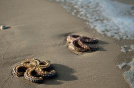 Mucoviscidose : un traitement pourrait se nicher dans les étoiles de mer