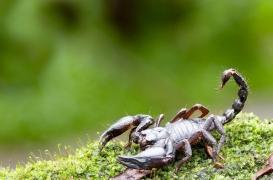 Le venin de scorpion pourrait permettre de soulager la douleur chronique