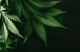 Un traitement à base de cannabis serait efficace pour contrer l'addiction