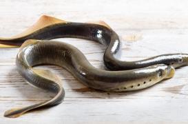 Un poisson parasite pourrait aider à combattre le cancer du cerveau