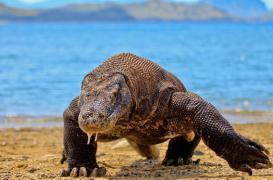 Bactéries : des antibiotiques dans le sang du dragon de Komodo