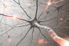Cerveau : la greffe de neurones efficace sur les lésions du cortex