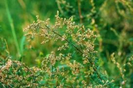 L'ambroisie, l'allergie des vendanges