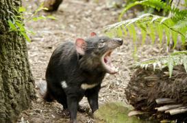 Le lait du diable de Tasmanie serait efficace contre les super-bactéries