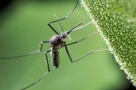 Nouvelle-Calédonie : découverte d'un nouveau moustique vecteur du paludisme