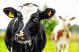 Tuberculose bovine: quels risques pour les consommateurs?