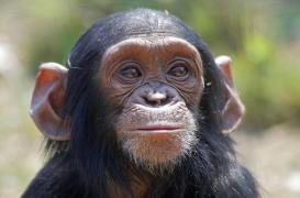 Des chimpanzés ont appris à jouer à pierre-feuille-ciseaux