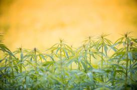 Légalisation du cannabis : l'alerte des pédiatres pour les ados