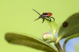 Maladie de Lyme : un plan d'action programmé