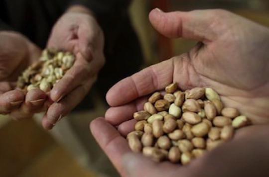 Allergie à la cacahuète : comment fonctionne la désensibilisation