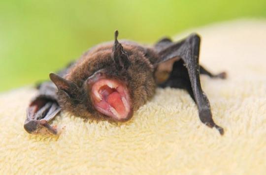 Suisse : une chauve-souris infectée par la rage a mordu un homme