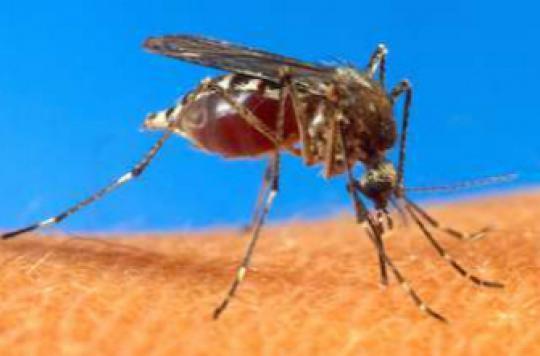 Chikungunya : 300 cas confirmés en métropole