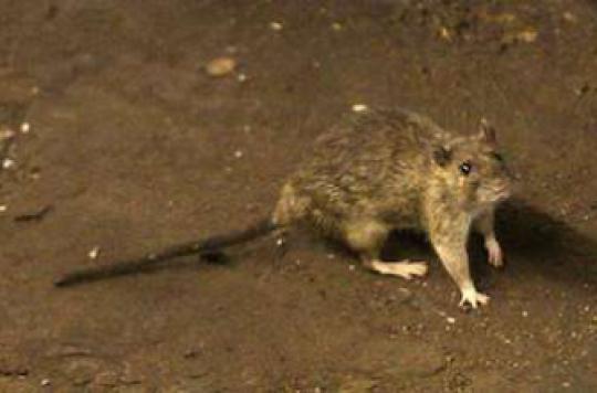 Peste à Madagascar : comment se propage l'infection