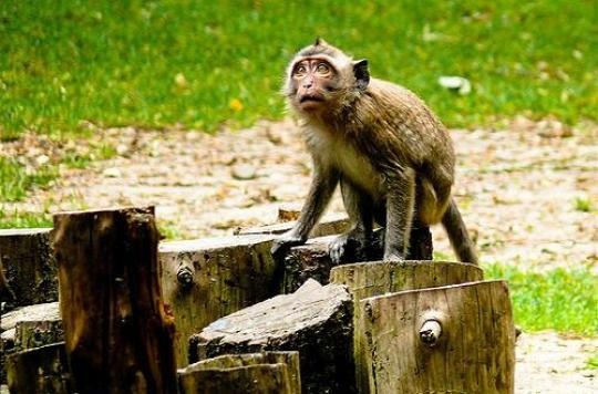 Labenne : les deux derniers macaques ont été capturés