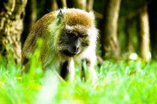 Labenne: deux macaques possiblement infectés toujours recherchés