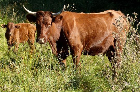 Ardennes : le cas de vache folle confirmé