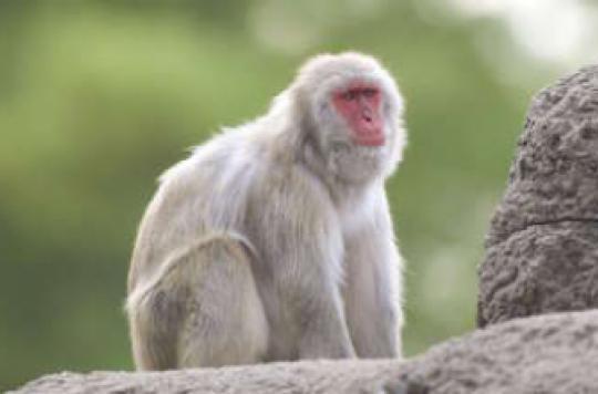 Sida : l'effet protecteur d'un inhibiteur sur les singes