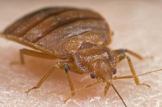 Les punaises de lit résistent aux insecticides