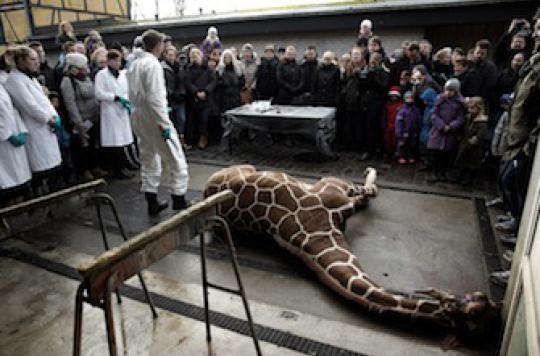 Danemark : pourquoi une seconde girafe pourrait être abattue