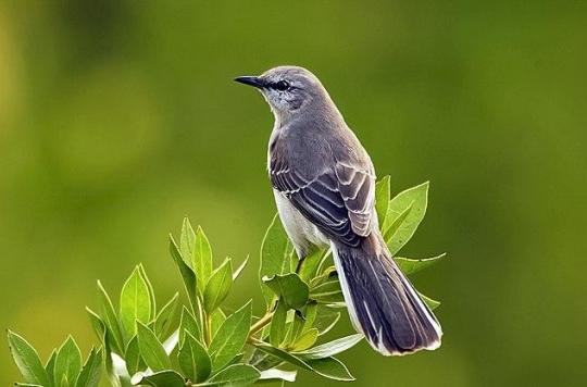 Les oiseaux moqueurs, aussi bons compositeurs que… Beethoven?