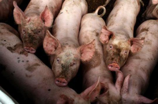 Sourd à cause du cri des cochons