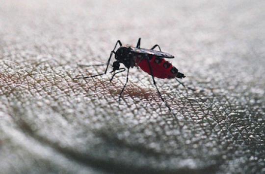 Le moustique le plus surveillé de France