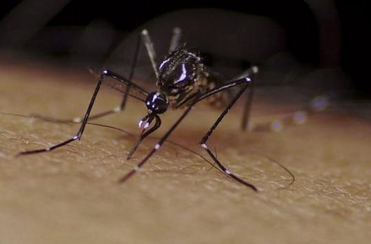 Californie : Google va relâcher 20 millions de moustiques stériles