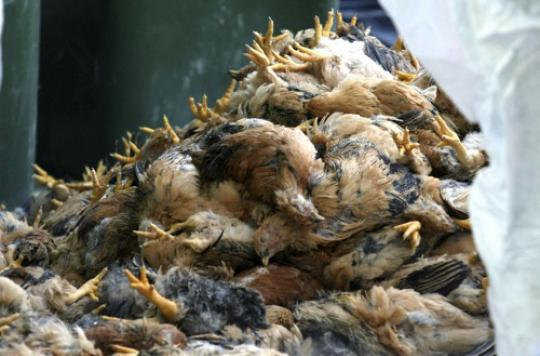Grippe aviaire : une nouvelle souche détectée en Asie