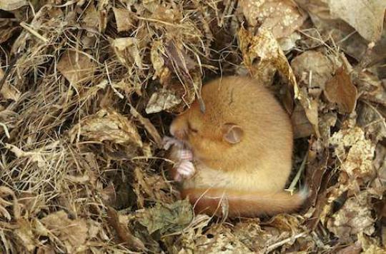 L'hibernation animale, un espoir pour lutter contre Alzheimer