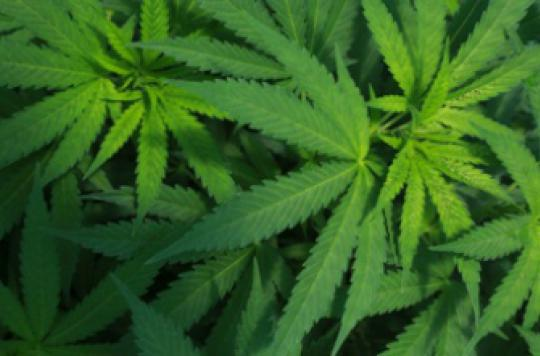 Cannabis : le rapport qui prône la légalisation