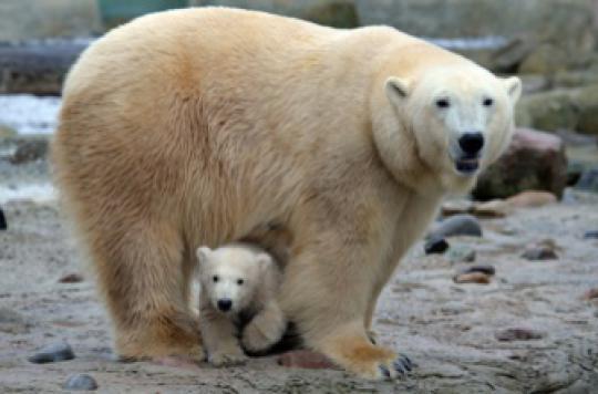 Cholestérol : pourquoi l'ours polaire est protégé