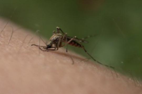 Dengue, chikungunya : surveillance lancée en France métropolitaine